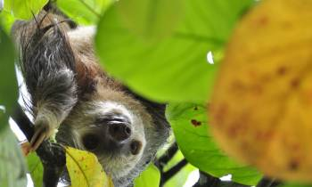 Sloth in trees in Costa Rica