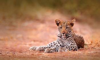 Leopard in Hwange National Park