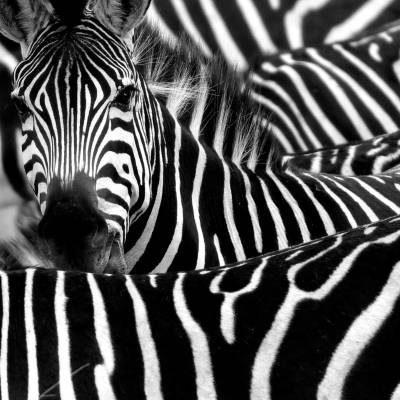 a couple of zebra standing side by side looking at the camera