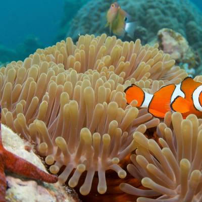 Clown Fish, Queensland