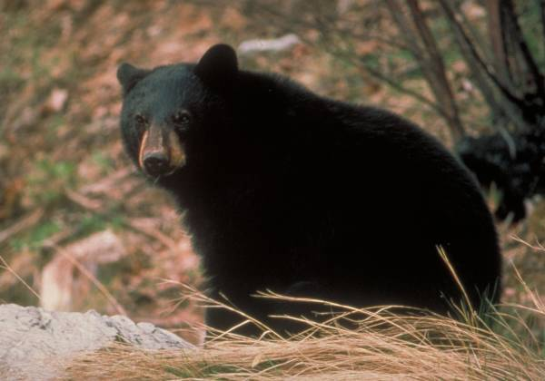 a black bear sitting in the grass