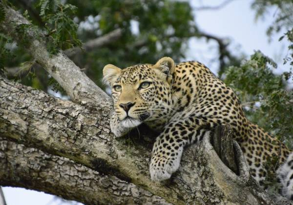 a leopard standing on a branch