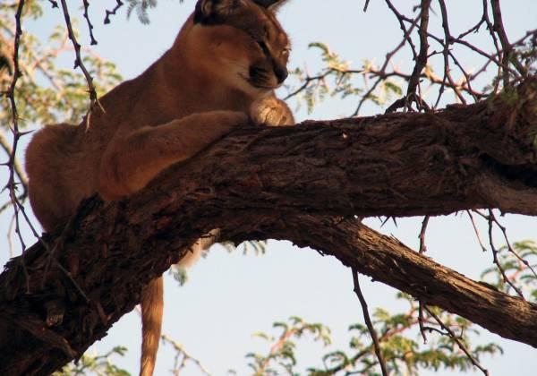 Lynx sitting in a tree