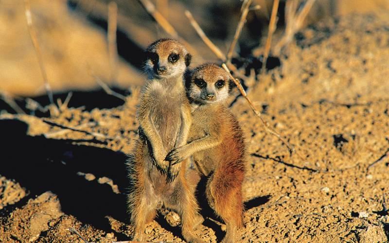 Meerkats in the Etosha National Park