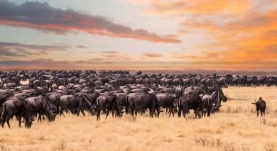 Enchanting Travels Wildebeest migration in Serengeti national Park,Tanzania