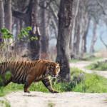 Ranthambore ist das Reich der Königstiger