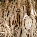 Buddhabaum in Ayutthaya