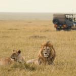 Löwen liegen im Grasland, im Hintergrund ein Geländewagen, Kenia