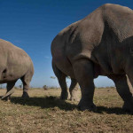 White Rhinos in Laikipia - Ol Pejeta / Solio, Kenya