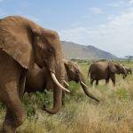 Elefanten im Samburu Nationalpark, Kenia