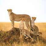 Group of Cheetah Serengeti National Park Tanzania Safari