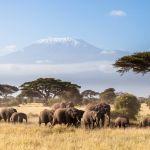 Herde afrikanischer Elefanten, die in der afrikanischen Savanne wandern, Kilimandscharo im Hintergrund.