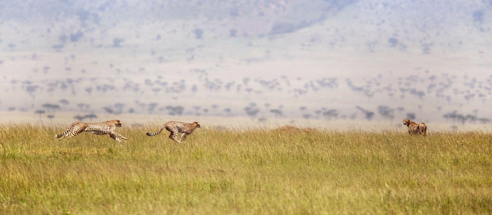 Drei Geparden, die durch die Masai Mara ziehen, Kenia, Afrika.