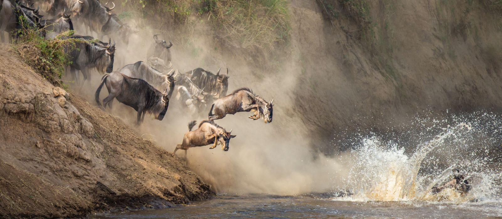 Wildebeests are crossing Mara river. Great Migration. Kenya. Tanzania. Maasai Mara National Park