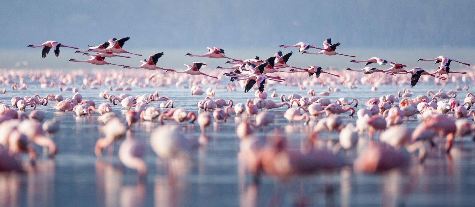 Fliegender Flamingo im Lake Nakuru, Kenia, Afrika