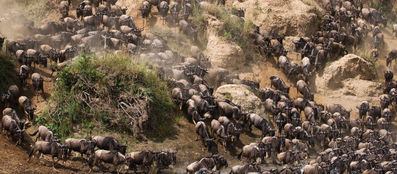 Die Gnus überqueren den Mara-Fluss. Große Wanderung. Kenia. Tansania. Masai Mara-Nationalpark