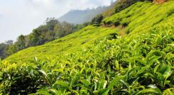 Enchanting Travels India Tours Darjeeling Tea Gardens