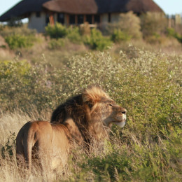 Lion at Duma Tau Camp in Central Kalahari, Botswana