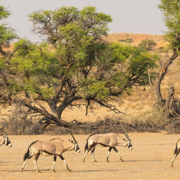 Enchanting Travels Botswana Tours Kgalagadi A herd of gemsbok in the dry Auob river bed in the Kgalagadi Transfrontier Park, situated in the Kalahari Desert, which straddles South Africa and