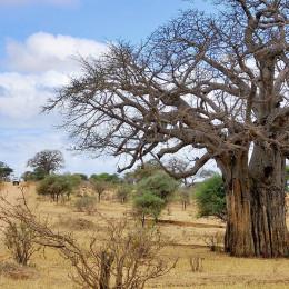 Affenbrotbaum in der trockenen Savanne von Tansania, Afrika