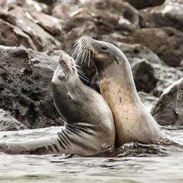 Seelöwen beim Spielen (Galapagos)