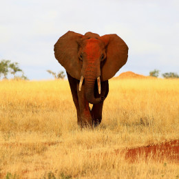 Elefant im Tsavo East Nationalpark