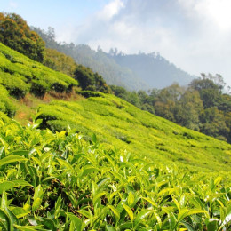 Enchanting Travels India Tours Darjeeling Tea Gardens