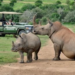 Rhinos in the Eastern Cape Game Parks, South Afrika