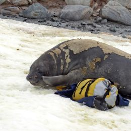 Enchanting Travels Antarctica Tours Young female elephant seal cuddling with duffel bags placed in the snow