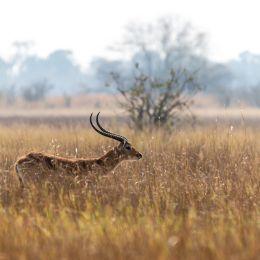 Impalas beim Gras fressen im Moremi-Wildreservat, Botswana, Afrika