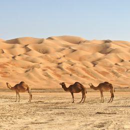 Kamele im Rub al Khali oder Empty Quarter.