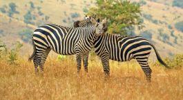 Zebras im Akagera Nationalpark, Ruanda