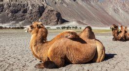 Kamel im Nubra Tal
