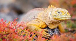 Land iguana in Galapagos, South America