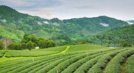 Teeplantagen in Darjeeling, Ostindien