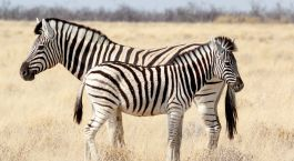 Enchanting Travels - Namibia Tours -Serra Cafema-Zebra foal with mother in african bush