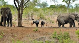 Enchanting Travels - South Africa Tours - Kruger south - Imbali Safari Lodge - Elephant at the Game drive