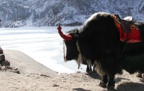 Yak, Tsongo Lake Sikkim, India, Asia