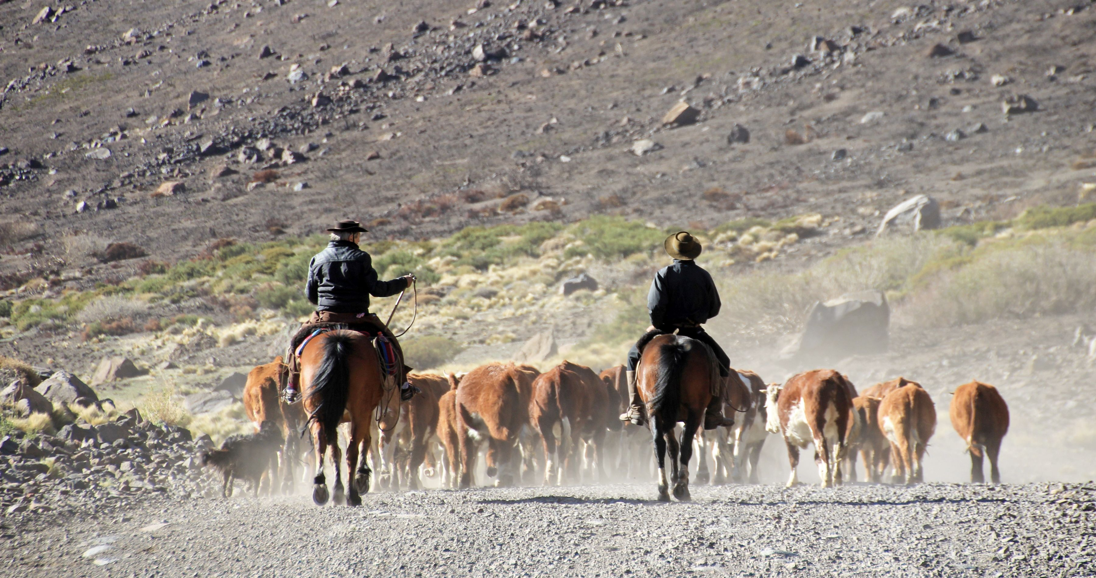 Gauchos and herd of cows, Patagonia, Argentina, South America