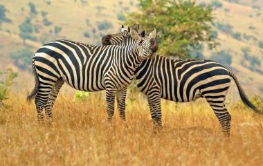 Best Time to Visit Rwanda - Zebras im Akagera National park, Rwanda