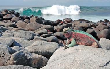 Eine Meerechse liegt auf den Felsen an der Küste der Galapagos-Inseln, Ecuador