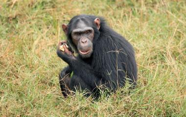 Schimpansen in Entebbe