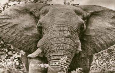 Frontansicht eines Elefantenkopfes mit abstehenden Ohren