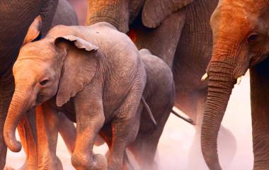 Enchanting Travels - Namibia Tours - Damaraland Twyfelfontein - Damaraland Camp - Elephant herd on the run