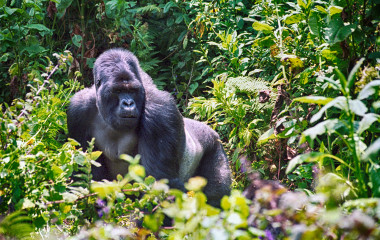 Mountain-gorilla,-Volcano-National-Park-Rwanda-Africa-Enchanting-Travels