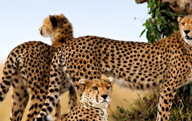 Drei Geparden blicken in der Masai Mara um sich