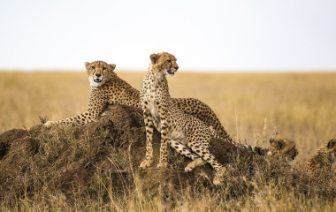Cheetahs resting on the rock in Serengeti National Park, Tanzania, Africa