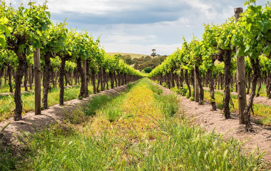Grape vines in Barossa Valley, South Australia (1)