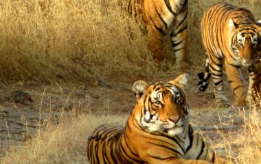 Tigers in Ranthambore National Park India