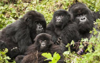 Gorilla Trekking, Rwanda, Africa